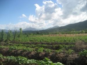 Jamaica Producers Farm in St. Mary